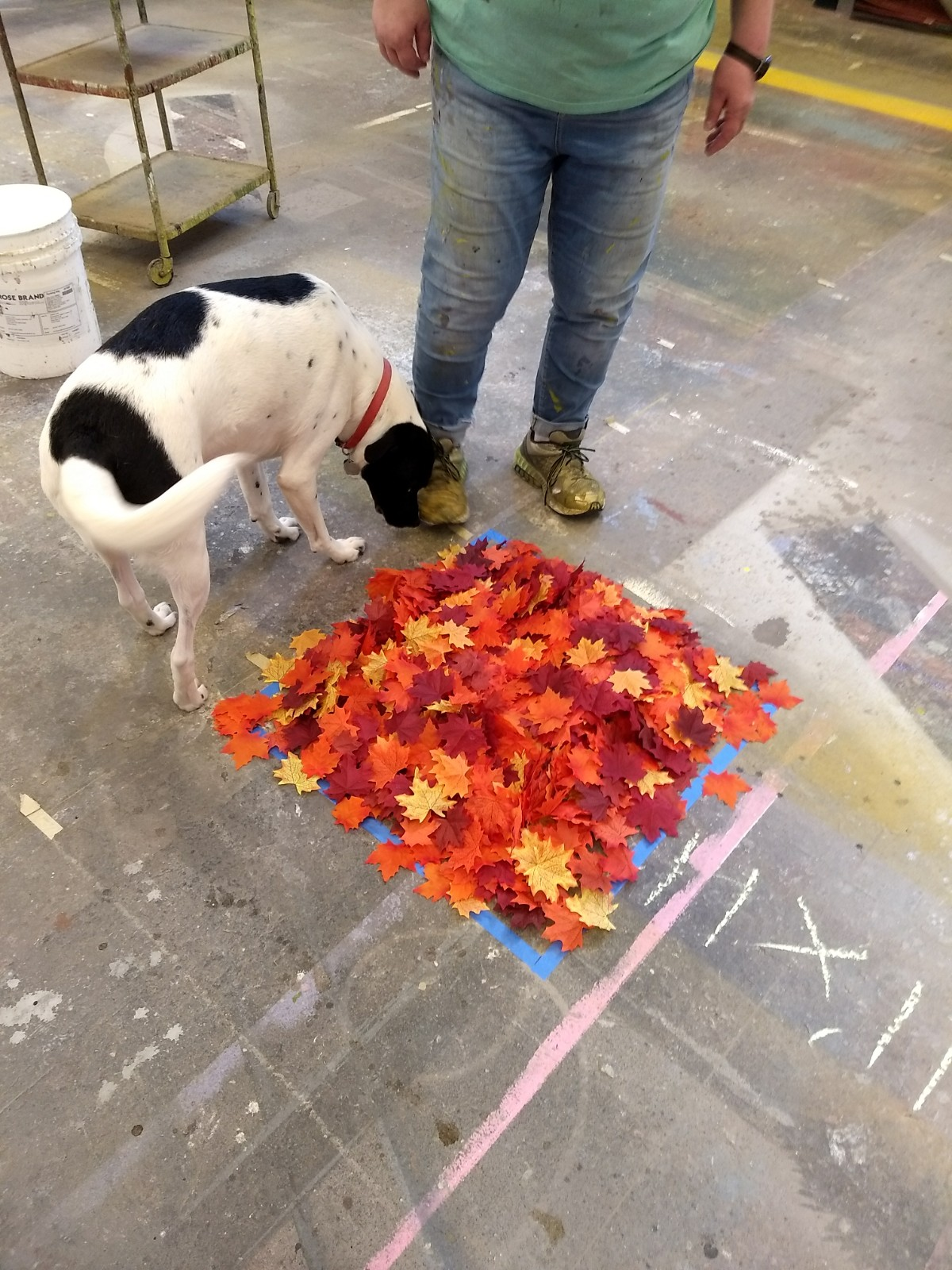 Posie the dog helps STC's Charge Scenic Artist Sally Glass figure out how deep they wanted the leaves to be on stage. This 2 ft x 2 ft square is about 1,000 leaves.